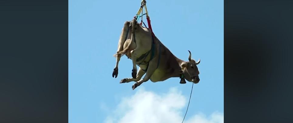 Над горами літала корова (відео)