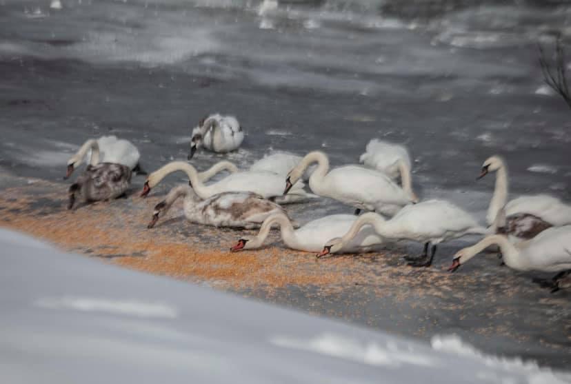 Зоозахист та прості українці зібрали тисячі гривень на порятунок 400 лебедів у Чернівцях (фото, відео)