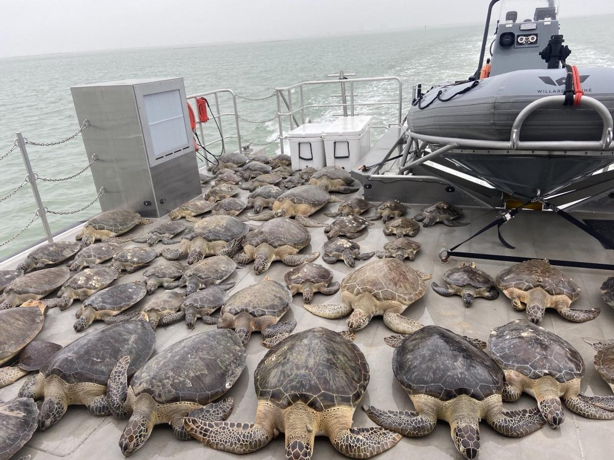 Прості люди врятували від морозів 4,5 тисячі черепах (фото, відео)