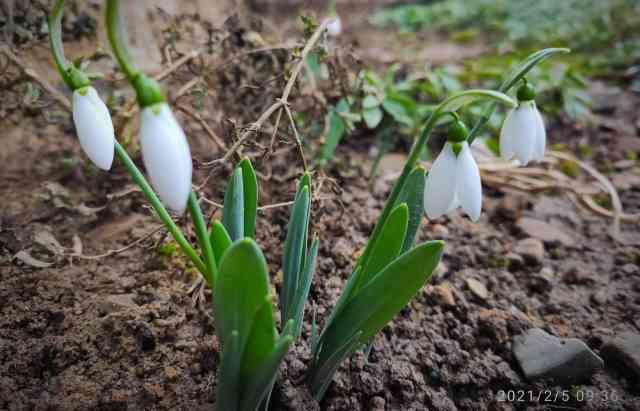 На Одещині під снігом розцвіли рідкісні квіти, а на Закарпатті — перші підсніжники (фото)
