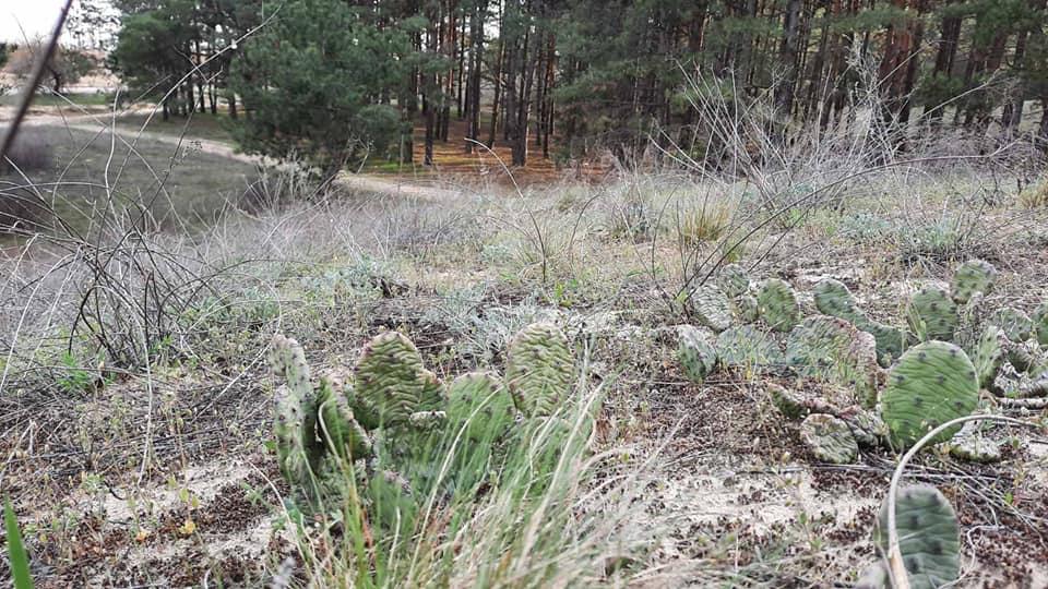 У херсонських лісах знайшли здичавілі кактуси: фото знахідки