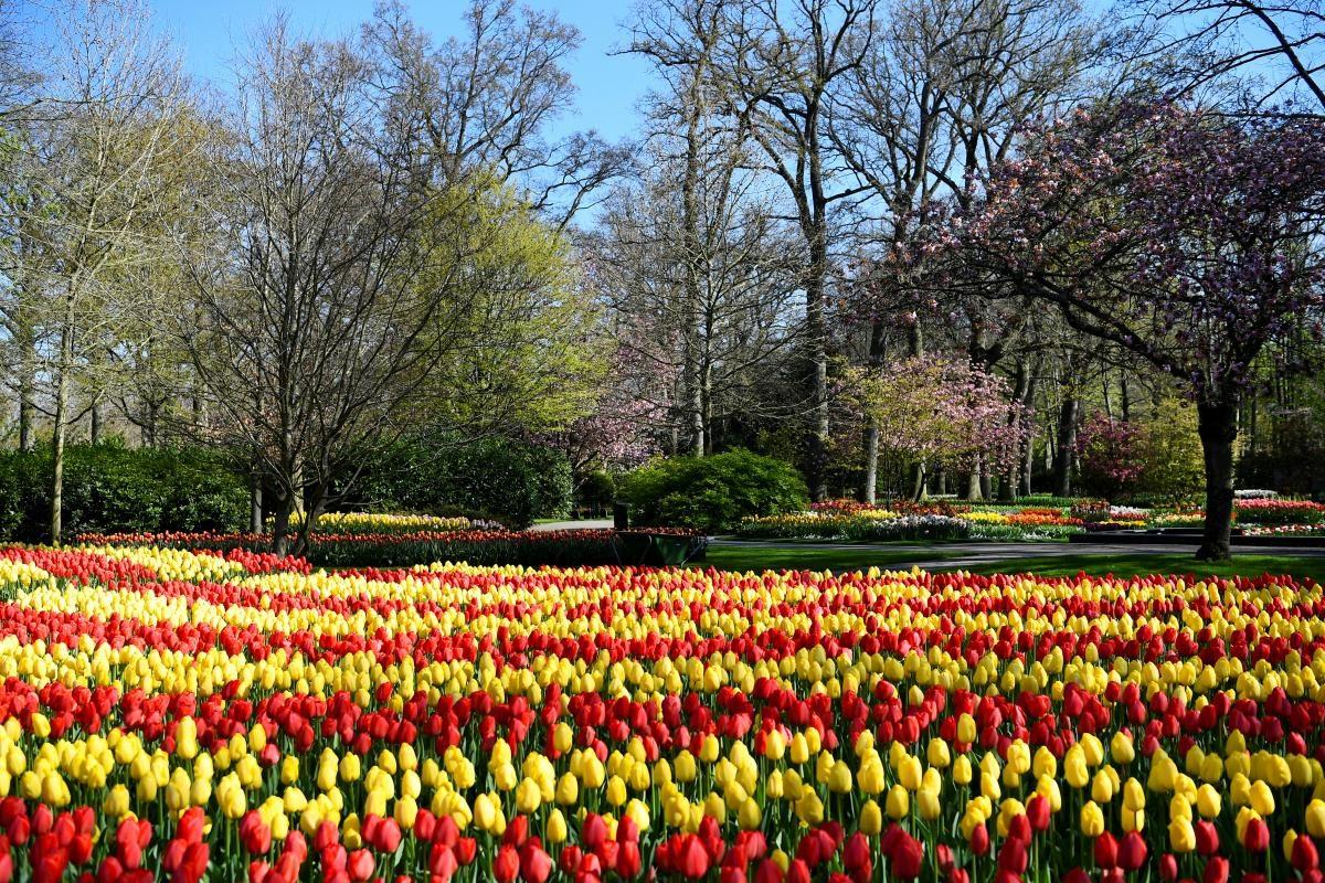 У Нідерландах розквітли мільйони тюльпанів: вражаючі фото