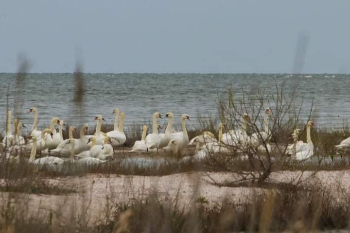 На Одещині можна побачити величезну колонію лебедів-шипунів (фото)