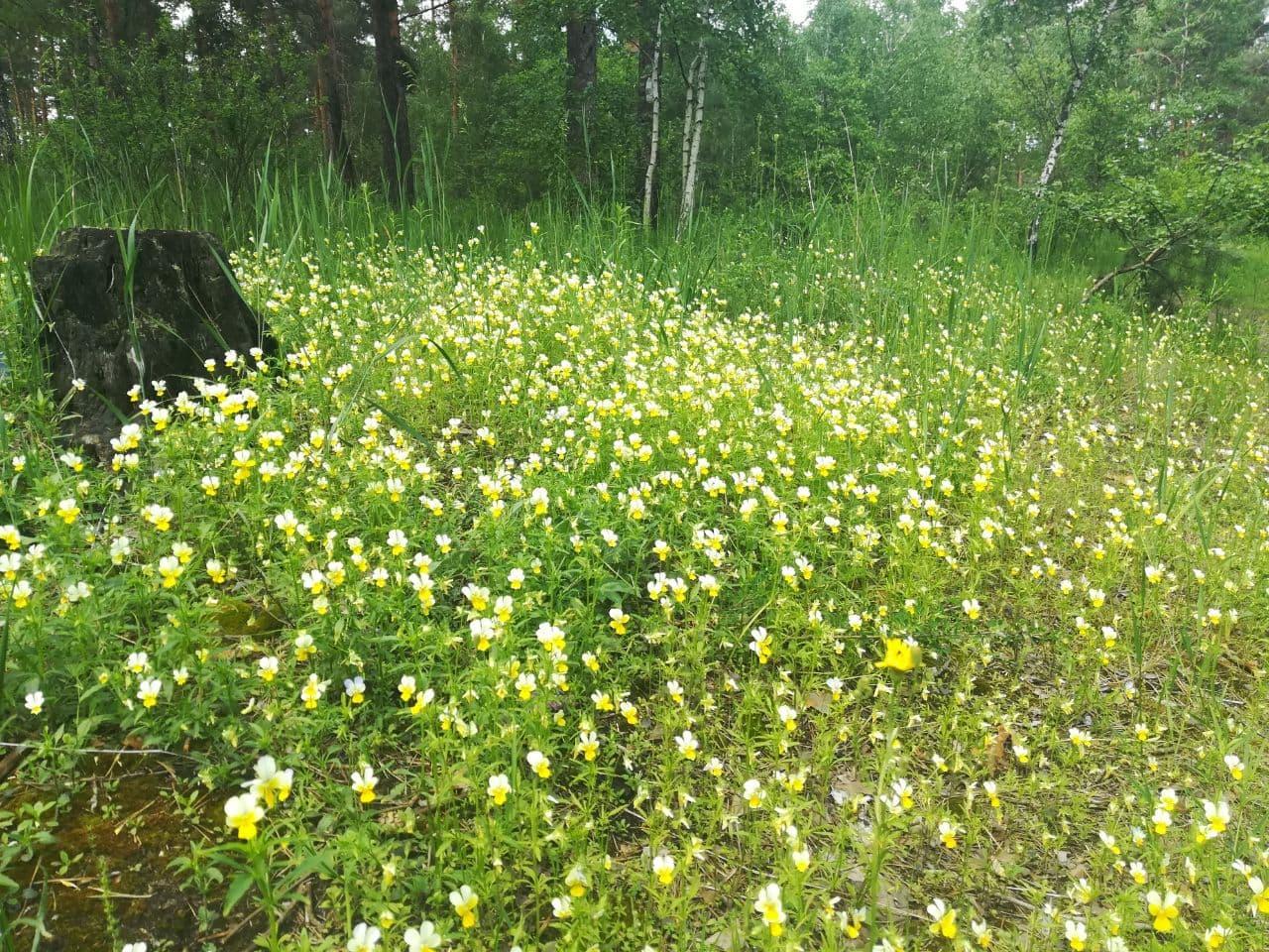 У Биківнянському лісі цвітуть фіалки (фото)