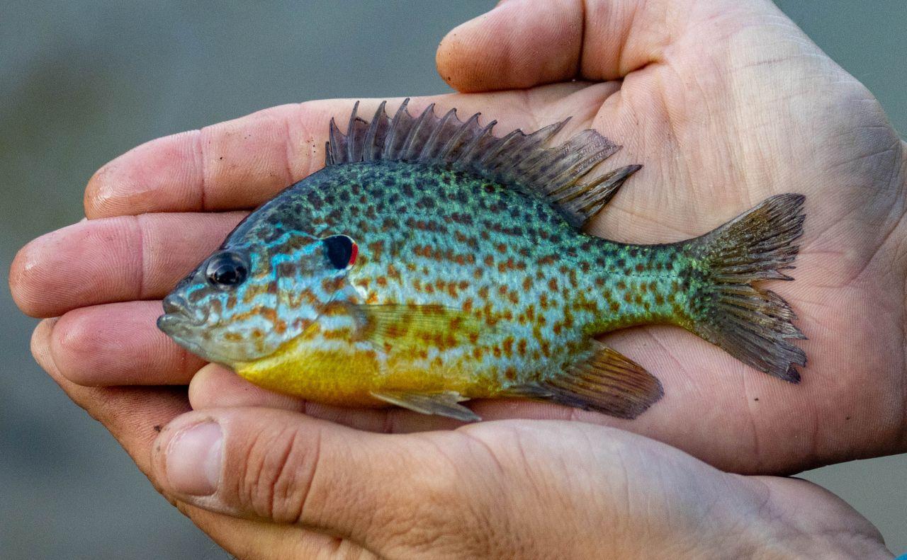 Укиївських озерах розплодились екзотичні риби-хижаки: фото