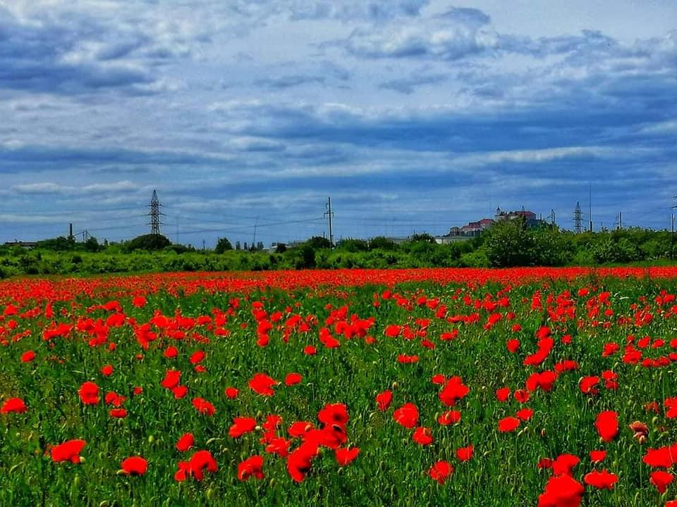 На Закарпатті квітує поле маків із видом на замок Паланок (фото)