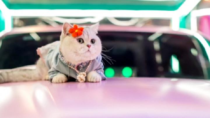 У Китаї моделлю на автовиставках працює кішка, яка отримує понад 40 тис грн за вихід (фото)