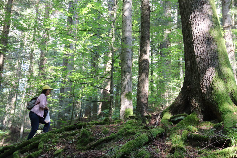 Як в Україні рятують найцінніші ліси