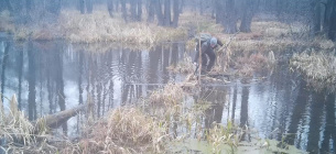 Браконьєр маскує капкан на греблі бобрів 12 січня 2020 р. (стоп-кадр відеозапису)