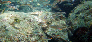 Риби у Японському морі. Фото Reiji Masuda/Kyoto University