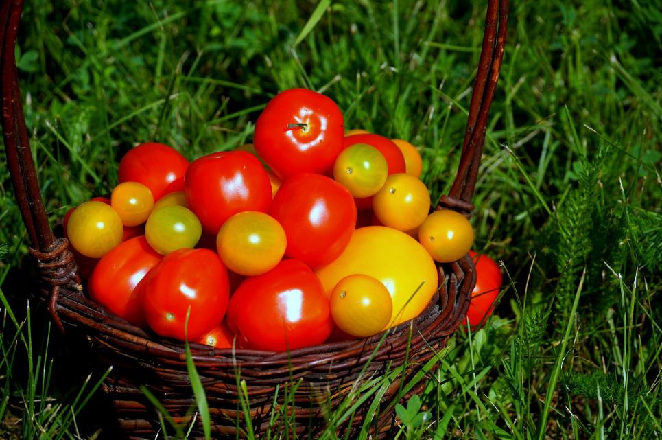 Ученые: употребление помидоров снижает риск инсульта на 55 %
