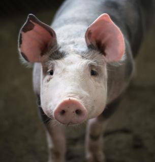 Держпродспоживслужба виявила велике вогнище АЧС, знищать понад 20 тис. свиней. Фото:Pixabay