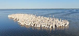 Пелікани в Тузловських лиманах. Фото Івана Русєва