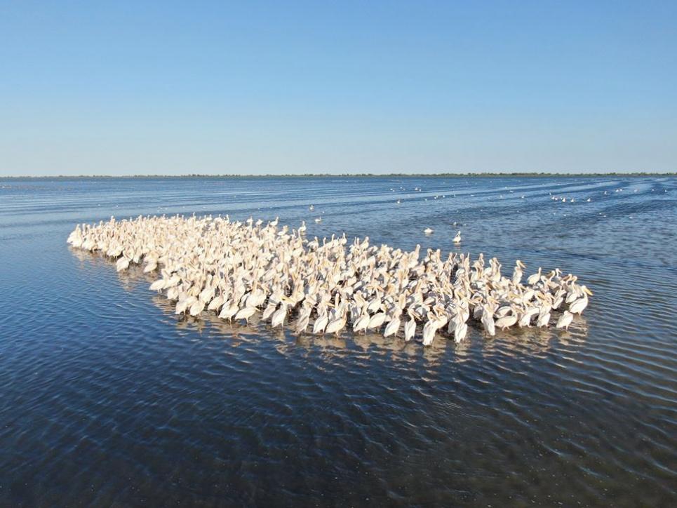 Пеликаны в Тузловских лиманах. Фото Ивана Русева