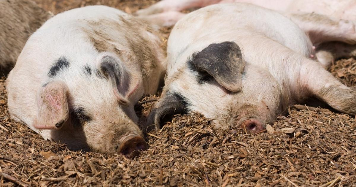 Поле конопли свинья местная конопля