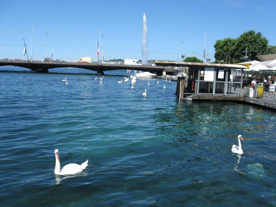 Лебеді на Женевському озері. Фото Олега Листопада