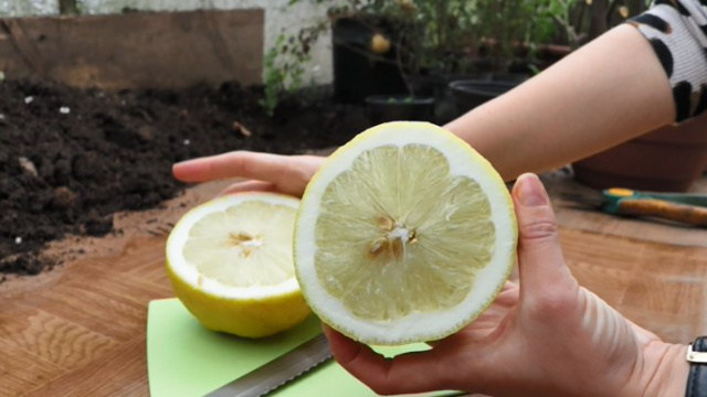 Лимон сорта «Киевский». Фото: Суспільне Тернополь