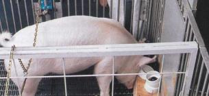 Усі свині змогли виконати завдання з ефективністю понад 50%.