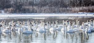 Прості українці зібрали тисячі гривень на порятунок 400 лебедів