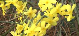 В оранжереї Запорізького ботанічного саду квітне жасмин. Фото: Суспільне