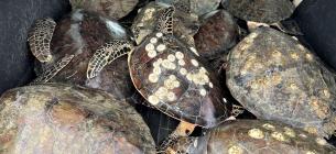Місцеві жителі та волонтери вивозять черепах на човнах і машинах, відігрівають та намагаються повернути до життя
