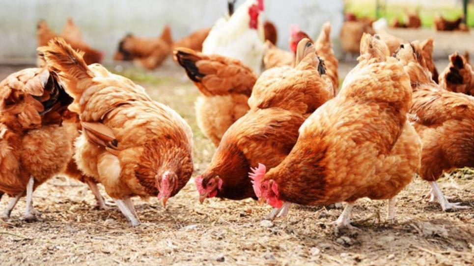 Вірус виявлено у птиці в одному з приватних господарств