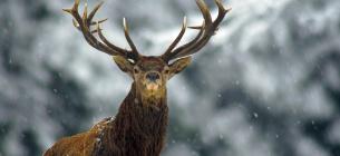 Зима для оленів - не найкращий час у дикій природі
