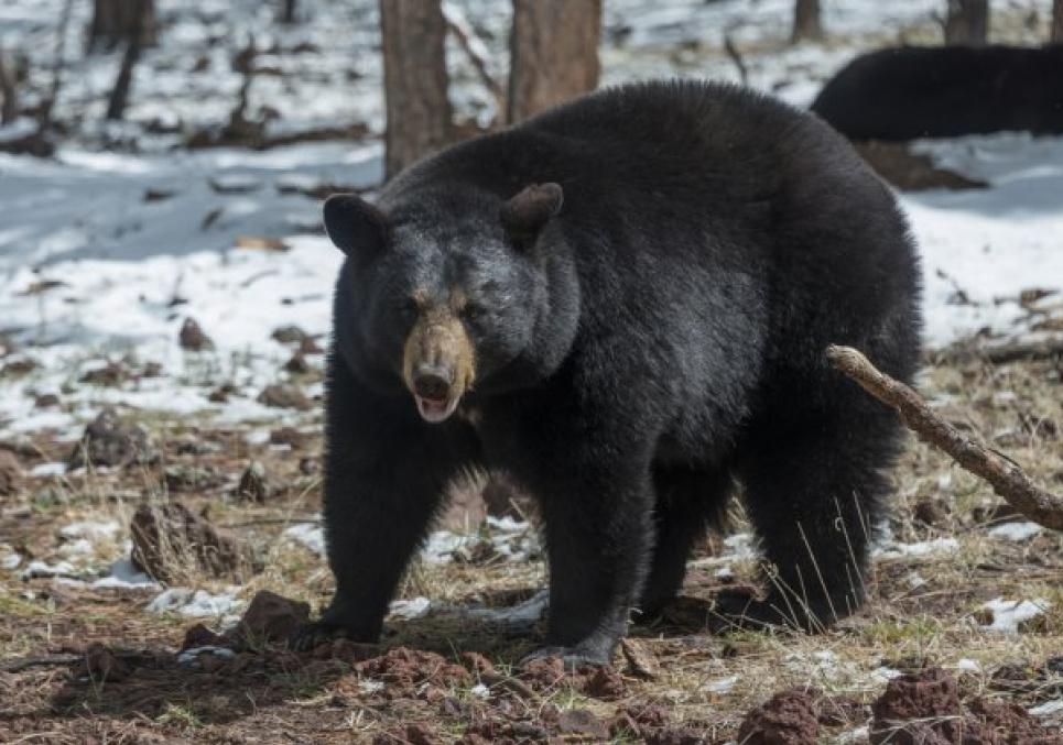 На думку фахівців, на жінку напав чорний ведмідь