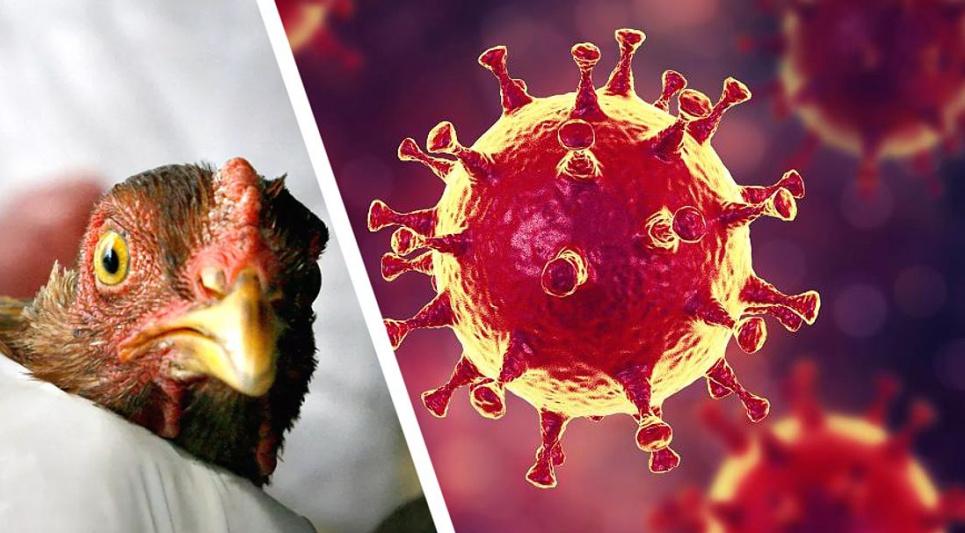 Люди заразилися новим пташиним грипом від курей