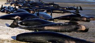 На мель выбросились около 50 дельфинов. Фото:trtworld.com