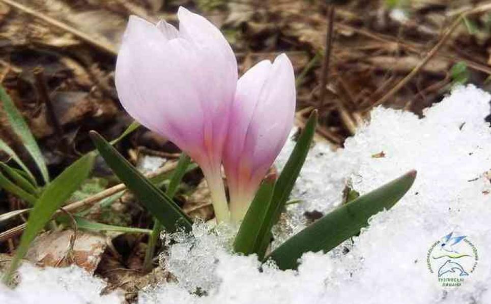 Першоцвіти здавна відомі як декоративні рослини