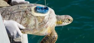 Врятованих черепах повернули у море