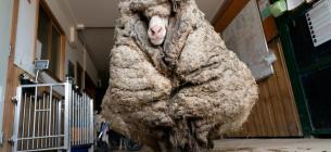 В Австралії знайшли бідолашну тварину, яка так заросла, що ледь ходила та майже не бачила