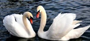 Гибель лебедей не связана с предыдущими случаями массовой гибели дикой птицы в Херсонской области