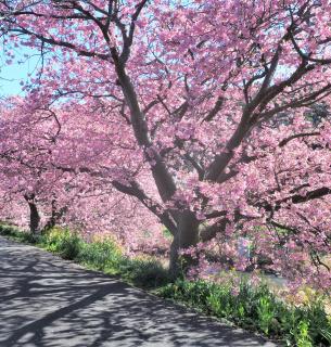 Ханамі, тобто милування квітами — національна традиція японців. Фото з twitter
