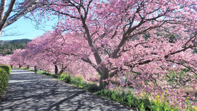Ханамі, тобто милування квітами — національна традиція японців.Фото з twitter