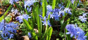Пролеска двулистная внесена в Красный список растений Одесской области