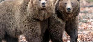 Циркові ведмеді не знають, що таке водойма та не вміють ходити по траві