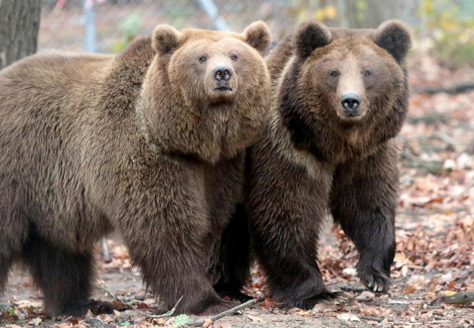 Цирковые медведи не знают, что такое водоем и не умеют ходить по траве