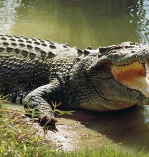 Поліція розшукує крокодилів, які втекли з розплідника.