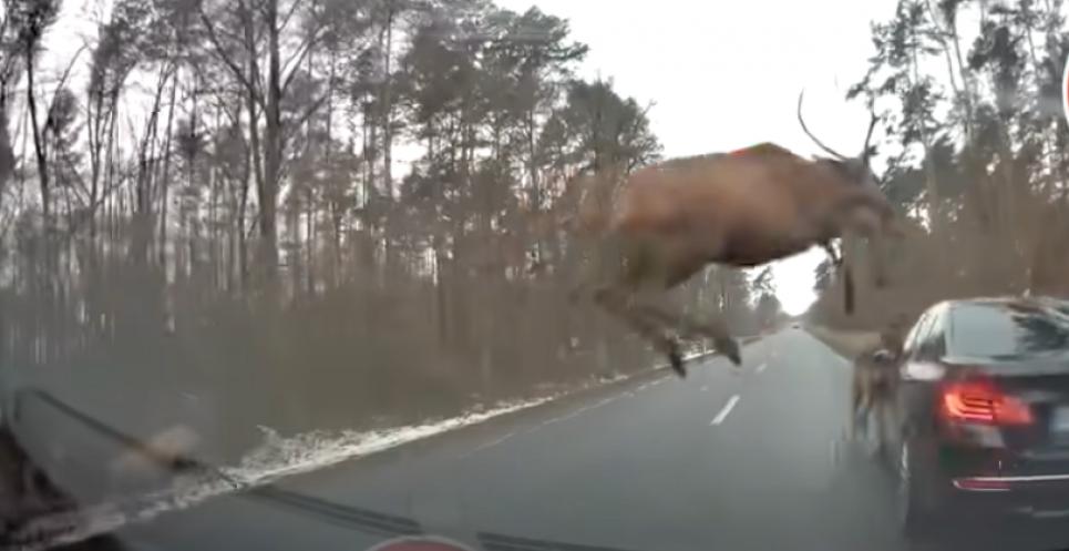 Стадо оленів вискочило під колеса авто