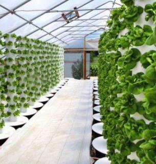 Фермеры выращивают капусту и руколу по уникальной технологии