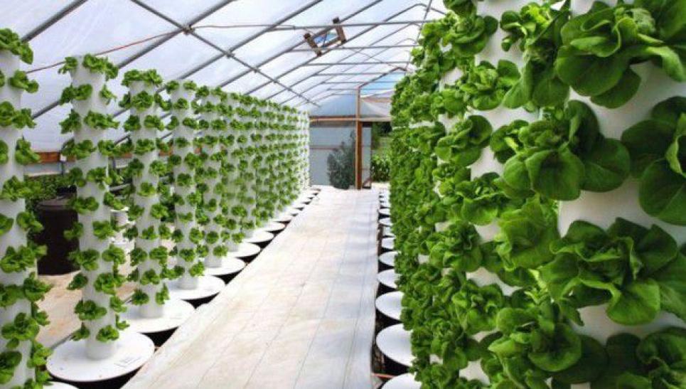 Фермери вирощують капусту та руколу за унікальною технологією