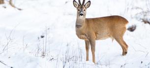 У лісі на Черкащині мисливці знайшли 9 зранених козуль.