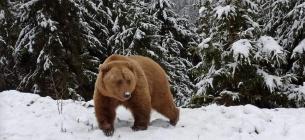 В Румынии на трассу, где находились туристы-лыжники, вышел бурый медведь.