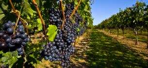 Хто з виноградарів може розраховувати на дотації від держави