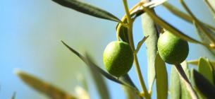 В Италии солнечные электростанции появятся в оливковых садах