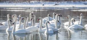 Виявили шокуючу причину загибелі лебедів у Чернівцях