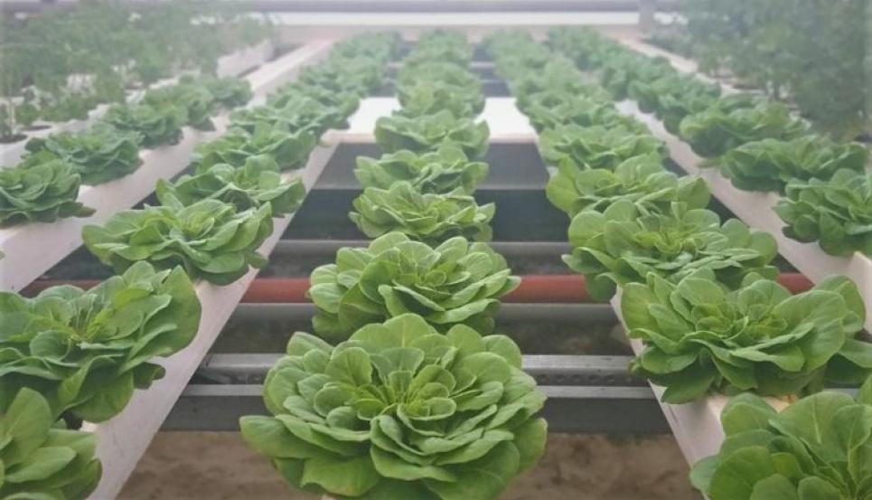 У Житомирі студенти вирощують органічні салати й пряні трави.