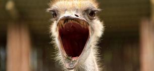У Кривому Розі страус-втікач не на жарт здивував містян